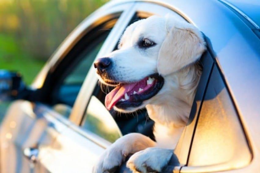 8 passi per insegnare al tuo cane a non soffrire la macchina